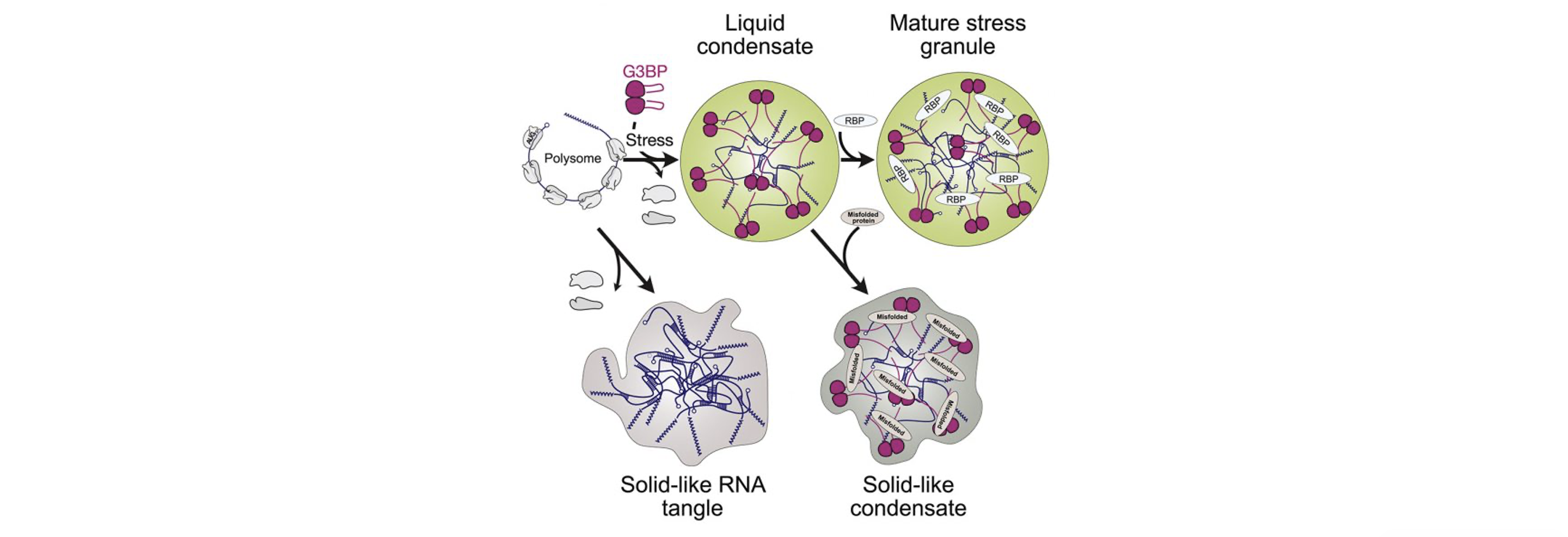 Role of RNA in Stress granules assembly revealed