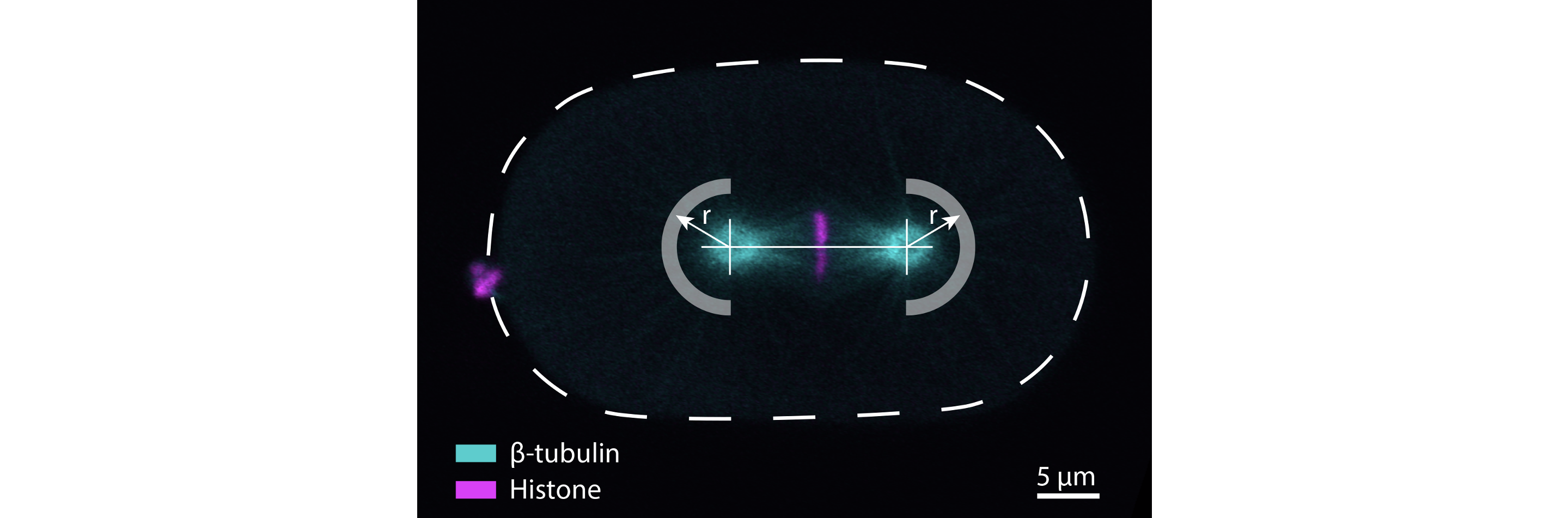 Soluble tubulin is significantly enriched at mitotic centrosomes